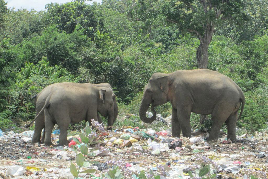 elephant-sri-lanka-rubbish