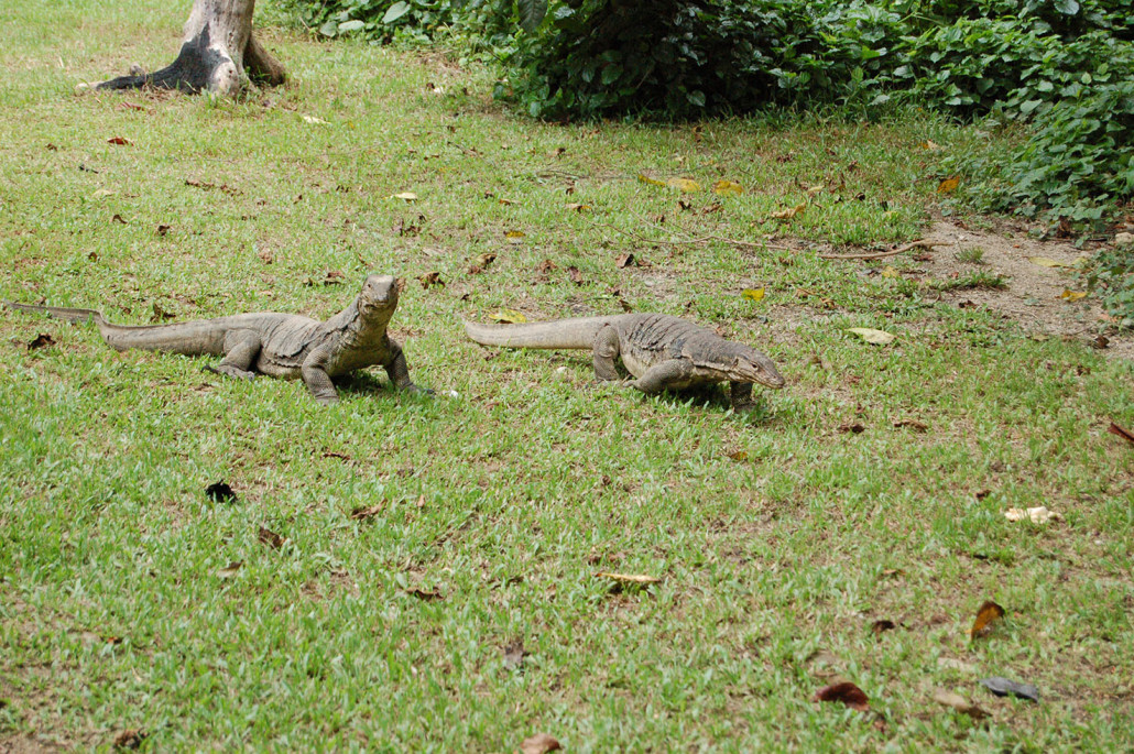 Survivor-resort-borneo-monitor-lizards